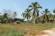 cocotiers sur le terrain à nosy faly